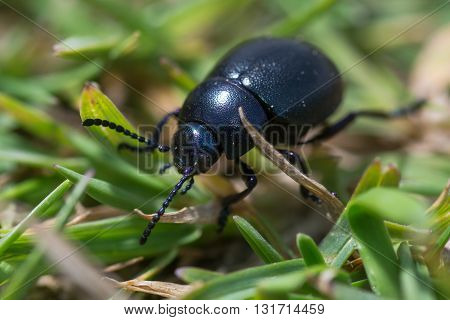 Small bloody-nosed beetle (Timarcha goettingensis). A flightless beetle in the family Chrysomelidae the leaf and seed beetles found on grassland