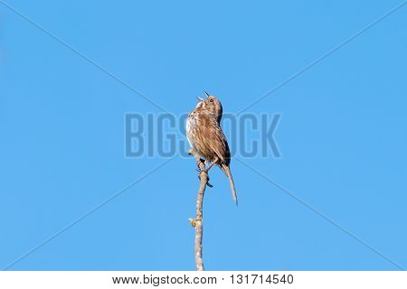 Small female sparrow sitting on a branch