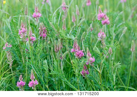 Sainfoin (Onobrychis viciifolia) plant in with pink flowers. Pink flowers with purple veins on plant in the family Fabaceae the pea family