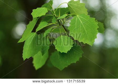 Natural green leaves on the green backgrounds