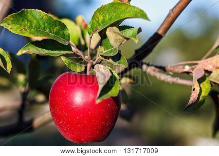 Red apple with lives on apple tree branch in autumn harvest. Ripe juicy apple on the apple tree in fall.