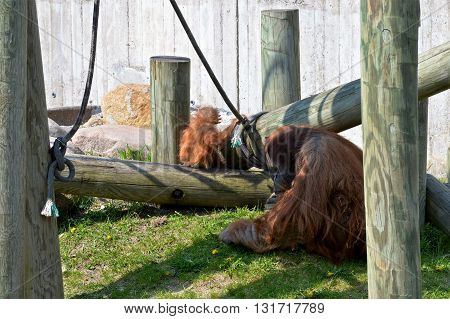 Orangutans outside during the day in the spring