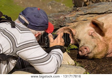 Photographer focusing on pig sleeping in the dirt