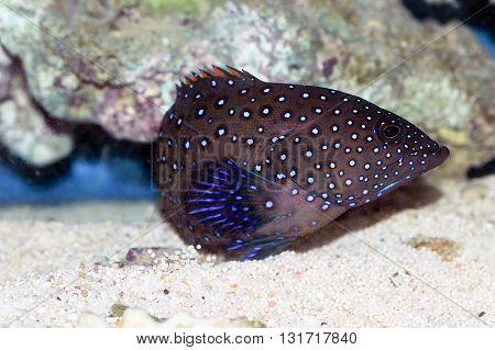 Bluespotted Coral Grouper (cephalopholis Argus)