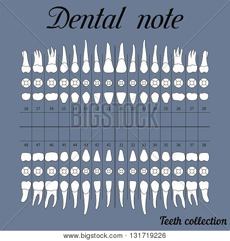 Dental note upper and lower jaw the chewing surface of teeth incisor canine premolar bikus molar wisdom tooth in vector for print or design