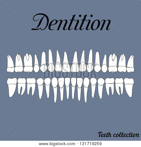 Dentition teeth - incisor canine premolar molar upper and lower jaw. Vector illustration for print or design of the dental clinic