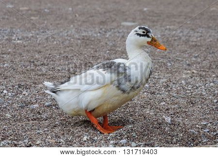 Wild duck walking on a sandy beach