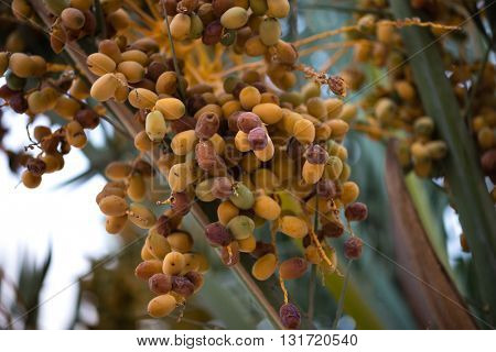 Date farming- a main agricultural business in the Gulf and african countries. Close up of hanging bunch of dates on the palm tree. Ripening process of date fruit.
