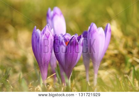 colorful wild crocuses on mountain meadow ( Crocus sativus )
