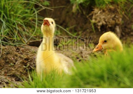 cute gosling being angry at the photographer