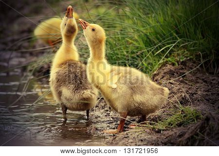 cute domestic gooslings drinking water at a pond