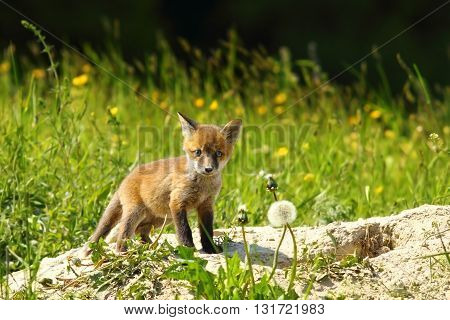 cute red fox cub looking at the camera ( Vulpes vulpes )