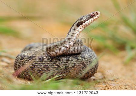 female berus viper in defensive position ( Vipera berus )