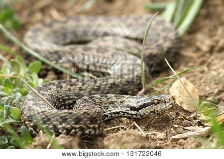 female meadow viper in natural habitat ( Vipera ursinii rakosiensis the rarest snake in Europe )