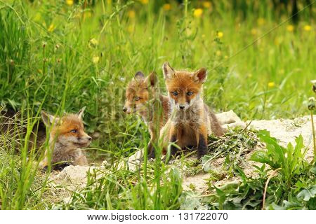 three cute red fox cubs basking near the den ( Vulpes vulpes )
