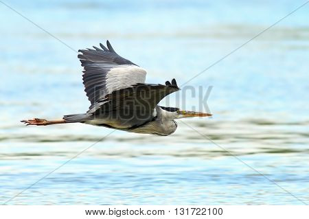Ardea cinerea- grey heron in flight over Danube river Danube Delta Romania