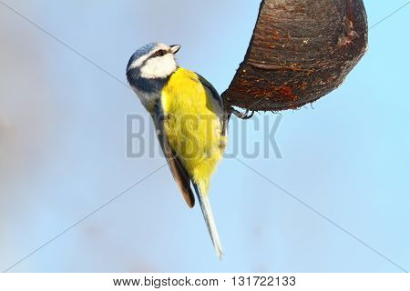 hungry blue tit on coconut feeder ( Cyanistes caeruleus )