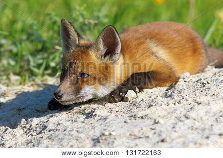 lazy red fox laying near the den ( Vulpes vulpes )