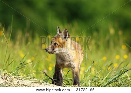 little red fox baby exploring the land near the den ( Vulpes vulpes )