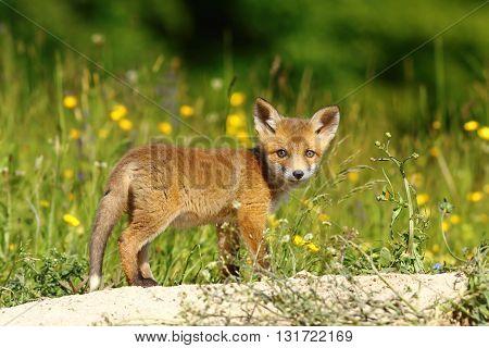 little european fox near the den ( Vulpes vulpes )