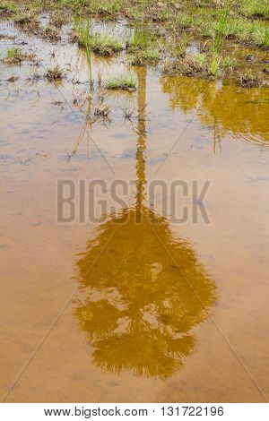 Sugar palm trees reflected in water,rice field