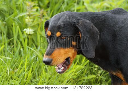 portrait of hungarian scenthound dog over green grass background