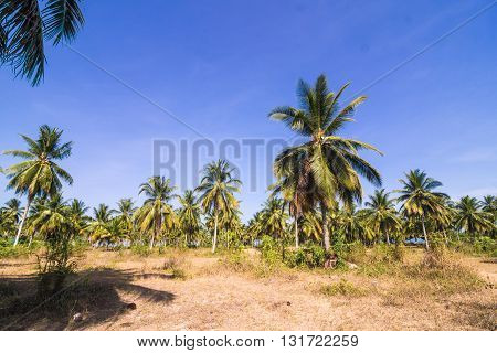 Coconut Palm Plantation With Rural Road