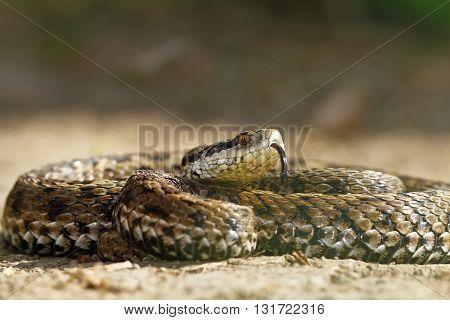 the rarest snake in europe hungarian meadow viper ( Vipera ursinii rakosiensis )