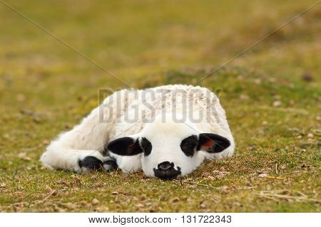lazy white lamb laying on grass neat the farm