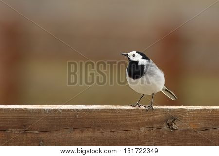 white wagtail on wooden fence ( Motacilla alba )