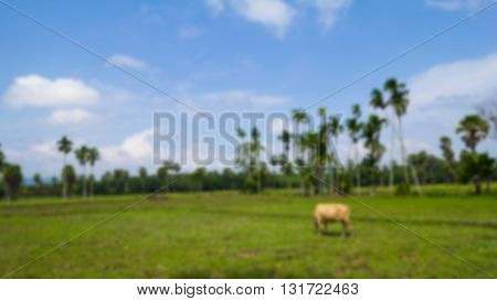 Blurred nature background (Rice field and cow)