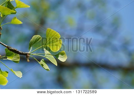 Leaves of a ginkgo tree in spring