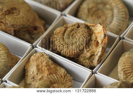 Ammonite Fossil Texture