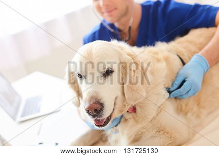 Professional young veterinarian is listening to animal heart through the stethoscope with concentration. Focus on the animal lying on the table with joy