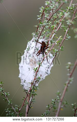 brown spider besides its nest of a white cobweb attached to the branches.