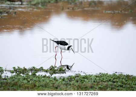 Pied stilts foraging for food in the pond, New Zealand.