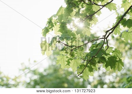 green maple tree leaves with insects in sun light, summer sunny day