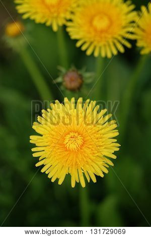 top view of bright yellow dandelions, closeup shallow focus photo