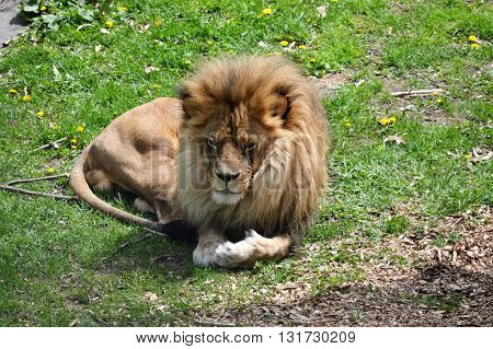 A male lion laying down on the grass