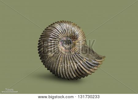 Ammonite - fossil mollusk. Ammonites lived in the ancient ocean 175 million years ago.
