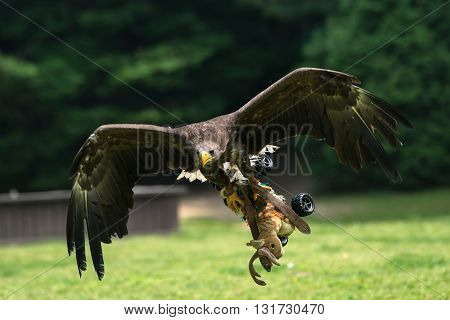 attractive  Golden Eagle in flight hunting training