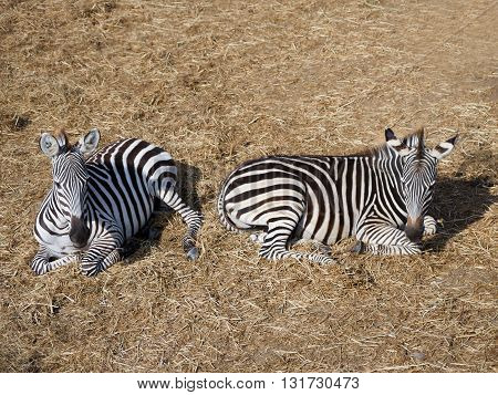 Zebra in grassland. Zebra spectacular nature has created. Colorful style.