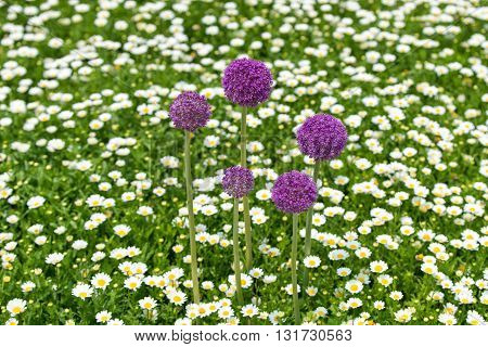 Inflorescence of giant onion (Allium Giganteum) against bright background