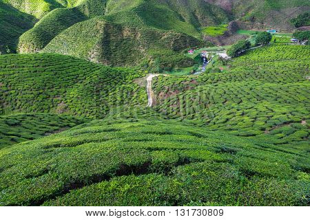 View of valley filled with tea plantations in Cameron Highlands Malaysia.