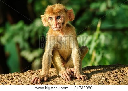 A Young Rhesus Macaque Monkey
