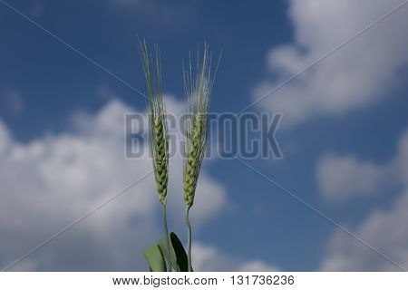 the field of green young wheat in a sunny day