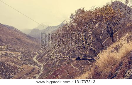 Birch trees growing on slopes of mountain valley. Annapurna circuit trek in Nepal.