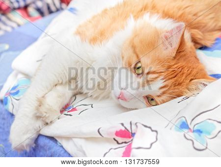 Nice adult red cat thoughtfully lies on bed