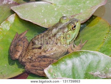 Bullfrog sitting on a lilly pad in a swamp.