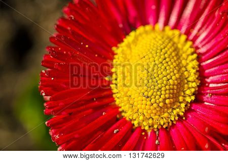 Beautiful red daisy flower. Close up marguerite